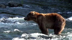 Backlit Alaskan Brown Bear Looks in Various Directions & Catches Golden Light Stock Footage