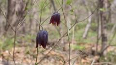 Wild Fritillaria Ussuri (Fritillaria ussuriensis Maxim.) Spring forest Stock Footage