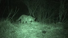 Mountain Lion Feeding on Carcass at Night in Infrared Stock Footage