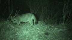 Mountain Lion Feeding Burying Carcass at Night in Infrared Stock Footage