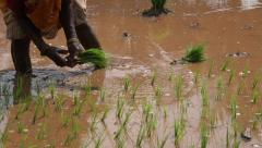 Woman planting rice in paddy field in India, view of arms and legs Stock Footage