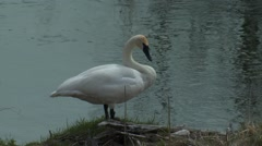Trumpeter Swan in Yellowstone Stock Footage