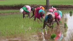 Group of women in colorful saris planting rice bundles in rice paddy in India - stock footage
