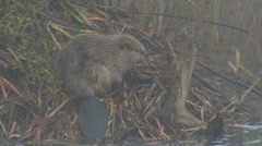 North American Beaver on Lodge on Foggy Morning Stock Footage