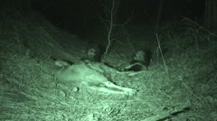 Striped Skunks Feeding at Night on Deer Carcass Stock Footage