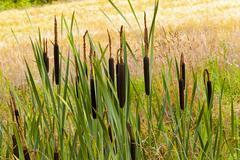 Flowering cattail Stock Photos