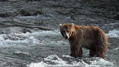 Brown Bear in Water Dives for Fish Stock Footage