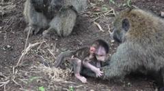 Baby baboon follow his father, safari wildlife Kenya, close up Stock Footage
