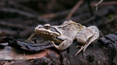 European grass frog in the wild- High quality Stock Footage