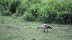 Kenya safari duck eating, medium shot Stock Footage