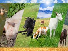 Livestock collage Stock Photos