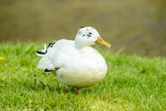 White mallard (Anas platyrhynchos) Stock Photos