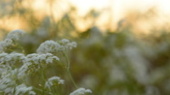 Cow Parsley, Anthriscus sylvestris during sunrise in Sweden Stock Footage