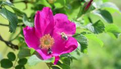 Musca is sitting on a wild rose and honey bee is flawing by. - stock footage