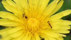 Two different species of ant on a dandelion flower. Stock Footage