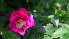 Small and big honey bees are collecting pollen from a wild rose. Stock Footage