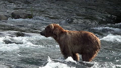 Brown Bear in Rivers Dives Off Frame to Try to Catch a Salmon Stock Footage