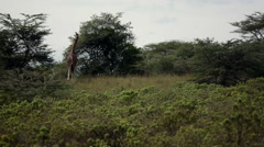 Giraffe searching for food, Kenya wildlife safari in Lake Nakuru Stock Footage