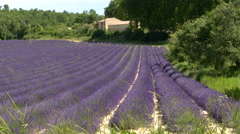 Lines in lavender plantation leading to house in the shade Stock Footage