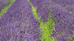 Lavender lines separated by grass - stock footage