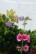 Garden hollyhock lcea Althea rosea - stock photo