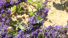 Bee on lavender, flies from flower to flower Stock Footage