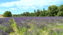Lined lavender field with grass, calm conditions Stock Footage