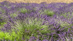 Plants of lavender slightly moving in the wind Stock Footage