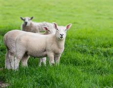 Flock of Young Lamb Stock Photos