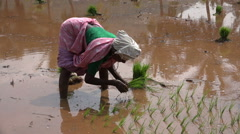 Senior Indian woman plants rice in paddy field Stock Footage