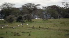 Rhino in lake Nakuru, Kenya wildlife safari Stock Footage