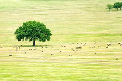 A flock of sheep near an oak Stock Photos