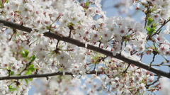 Blooming Cherry Blossom Stock Footage
