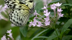 Slow Motion Butterfly Tree Nymph Idea Leuconoe sucking pollinating flower Stock Footage