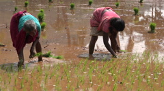 Two Indian women planting rice bundles in a small village Stock Footage