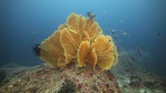 Coral reef sea fan underwater Stock Footage