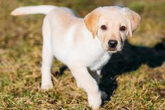 Beautiful White Dog Lab Labrador Retriever Pup Puppy Whelp Stock Photos