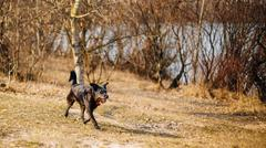 Black Mixed Breed Dog Running In Park In Spring Autumn Season - stock photo