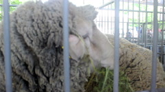 sheep in a pen at the farm 07 - stock footage