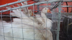 White duck on a farm  Stock Footage