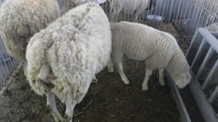 sheep in a pen at the farm 03 - stock footage
