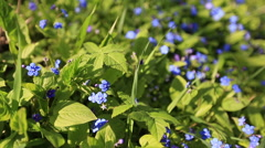 Forget me not, small flowers in the shape of a heart - stock footage