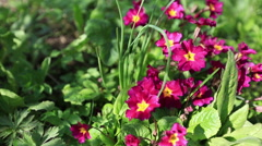 Beautiful primula Stock Footage