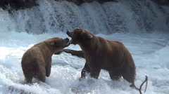 Brown Bears Mock Fighting:  Dispute Between Sow and Boar Who Wants to Court Her Stock Footage