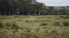 Grey Crowned Cranes and Zebras in lake Nakuru, safari Kenya Stock Footage