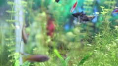 Small neon aquarium fish and guppies Stock Footage