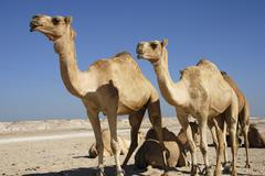Camels in the Middle East - stock photo