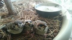 Cultivation of the baby birds of sparrows who dropped out of a nest. - stock photo