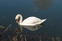 Stock Photo of Mute Swan
