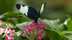 Slow Motion Butterfly Tiger Longwing Postman pollinating flower Stock Footage